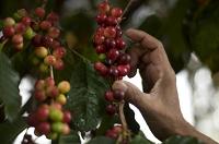 Guatemala proyecta una caída de 10% de su actual cosecha de café
