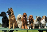 Descubren que los perros pueden determinar si las acciones humanas son intencionadas o no